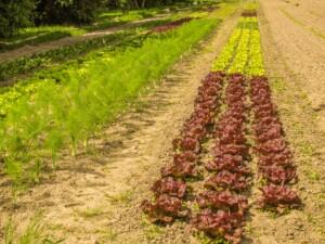 salátové pole