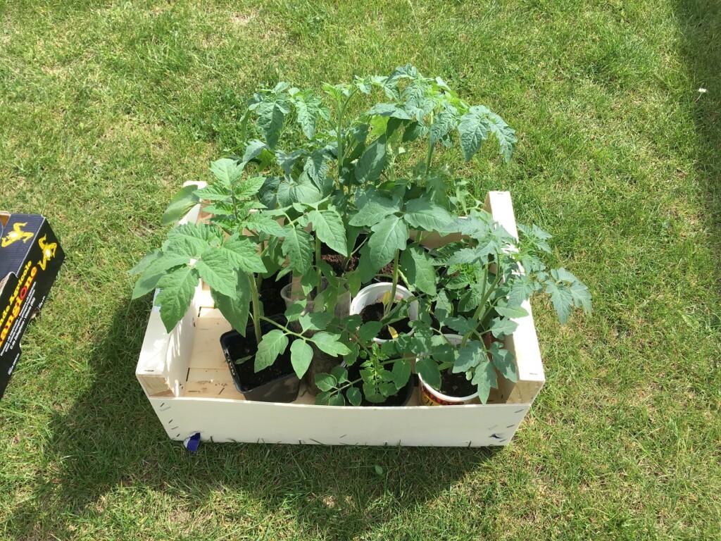 Sazenice rajčat