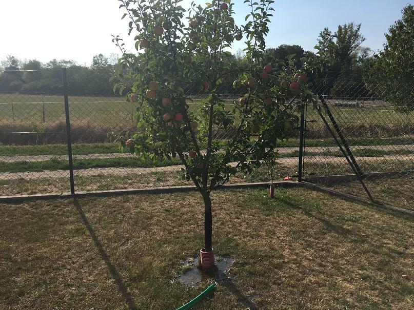 Zalévání ovocného stromu