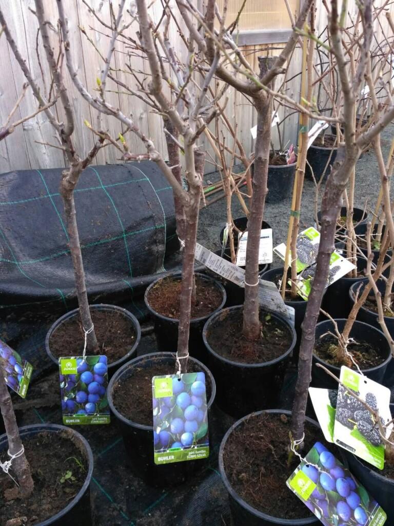 Zahradní ovocné dřeviny