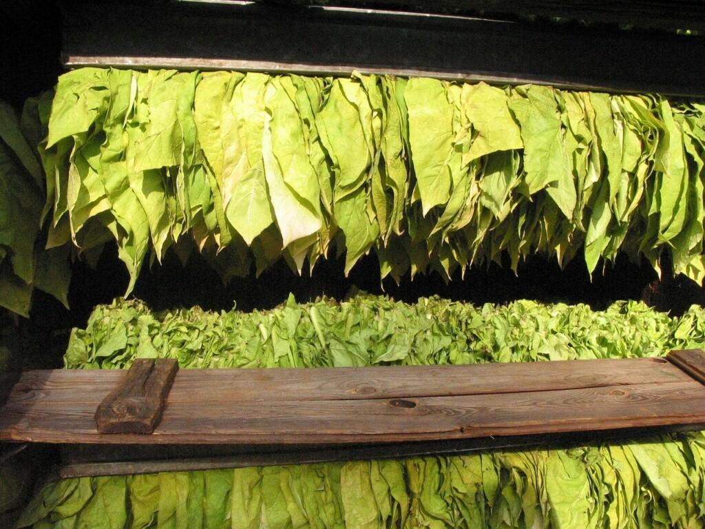 Sušení tabáku