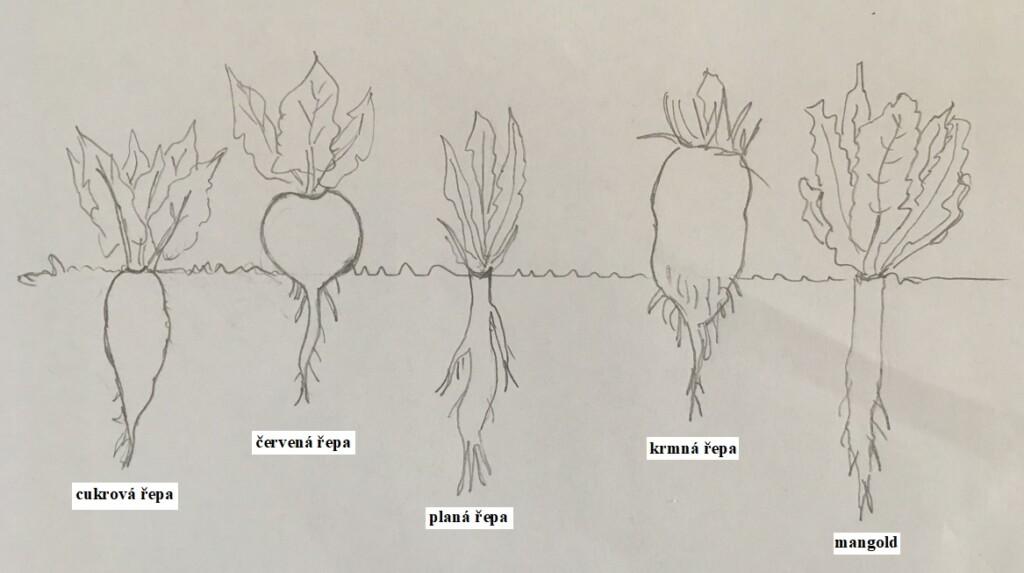 Hloubka kořenů řepy a mangoldu