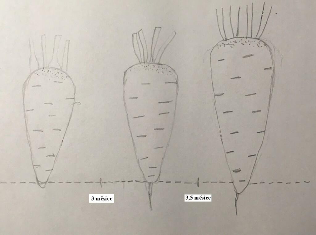 Růst mrkve