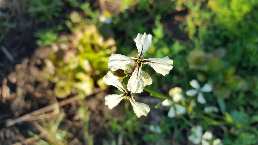 Květ rukoly