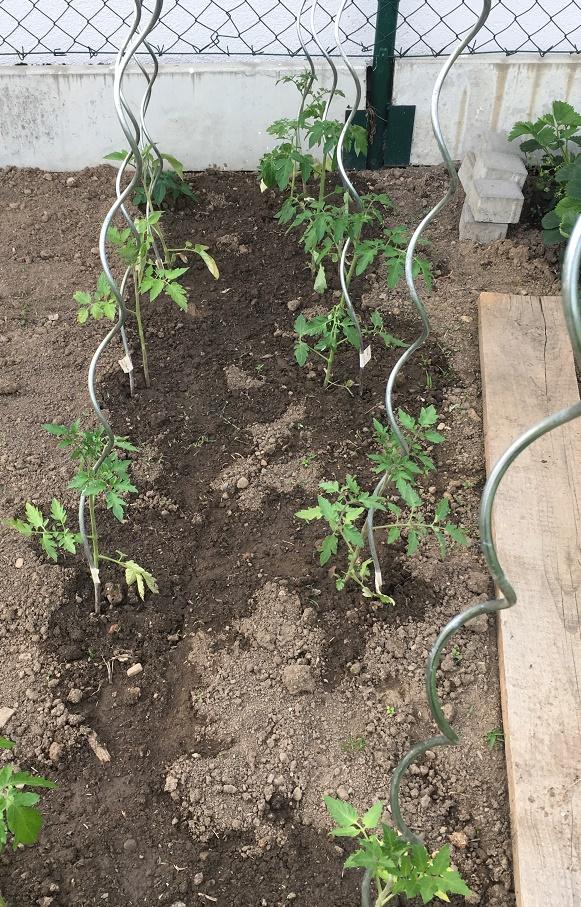 Spirálové tyče na rajčata
