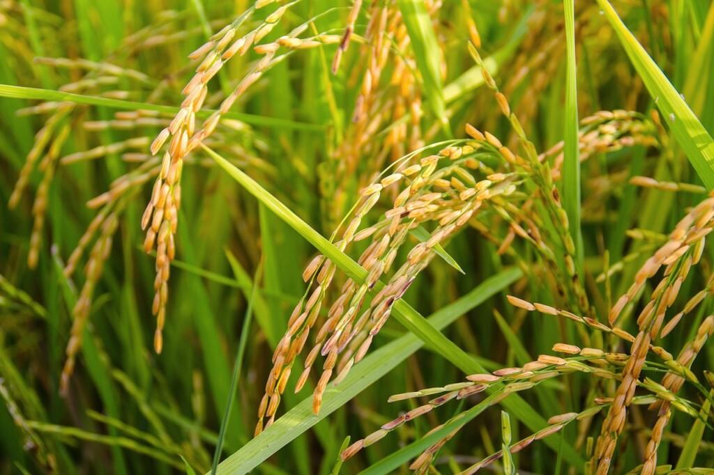 Rýžové pole