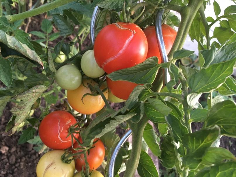 Praskání rajčat