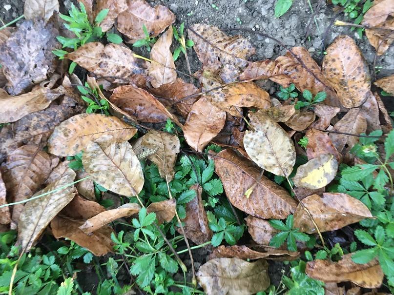 Listí z ořechu