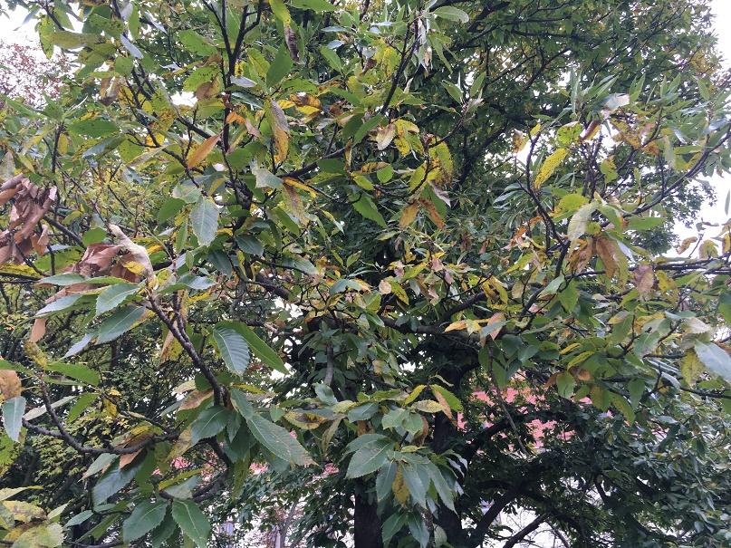 Strom kaštan setý