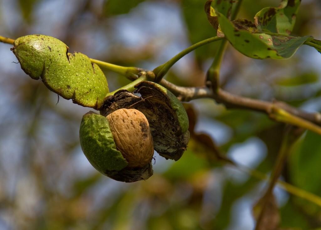 Černé ořechy