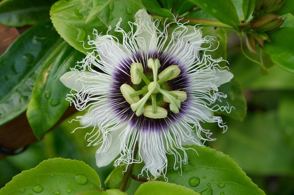 Květ mučenky