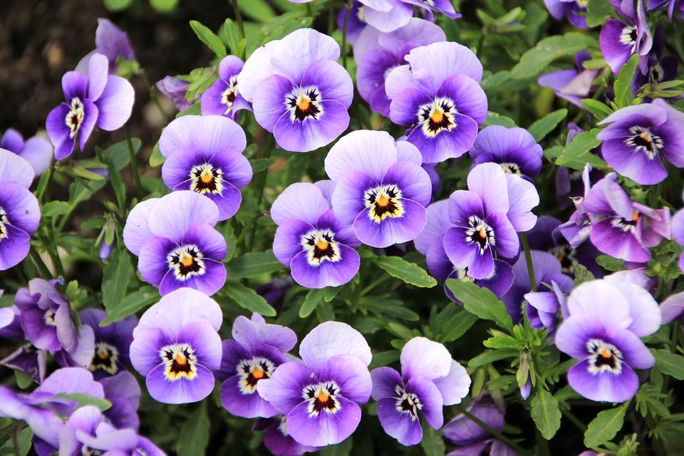Macešky fialové