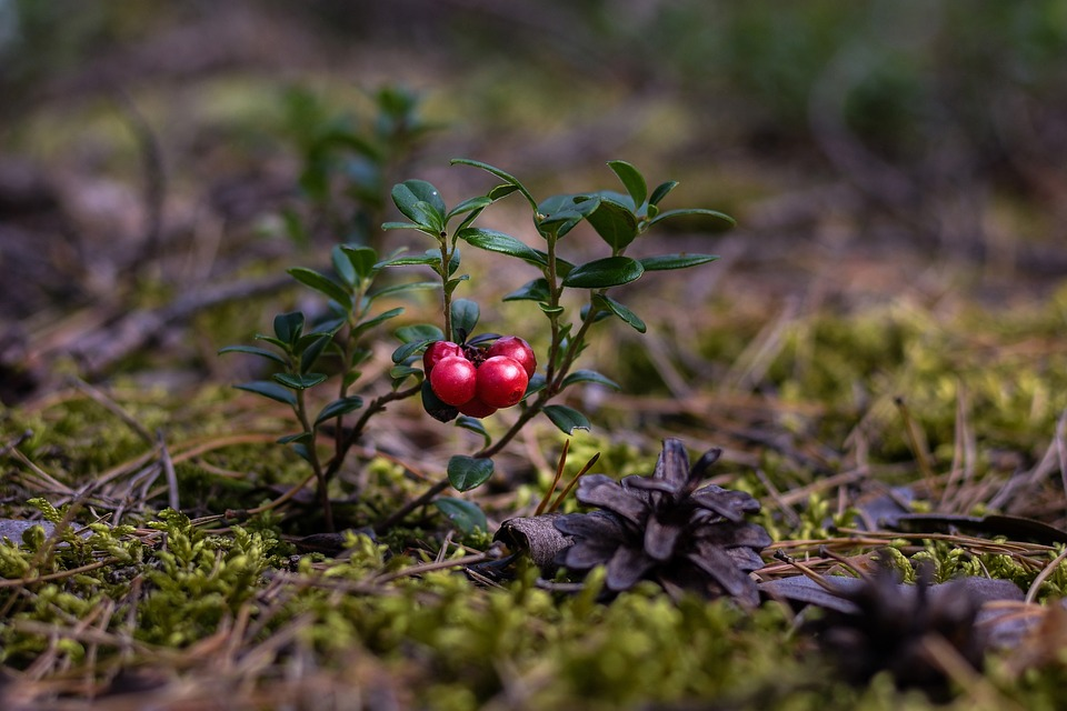 Brusinky-rostlina