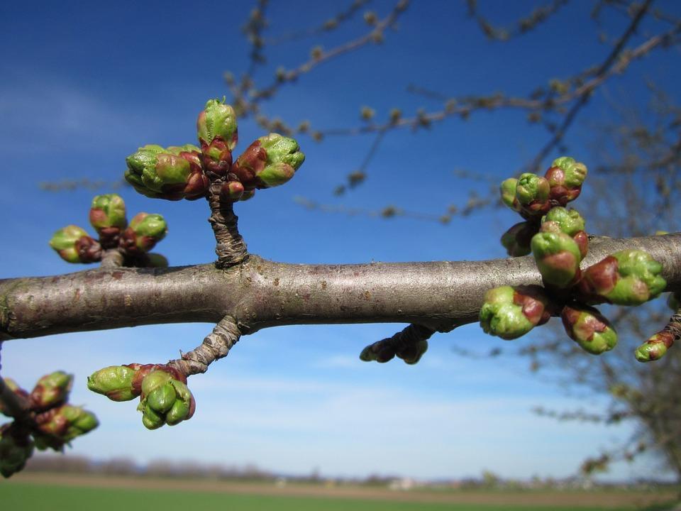 Višně - strom