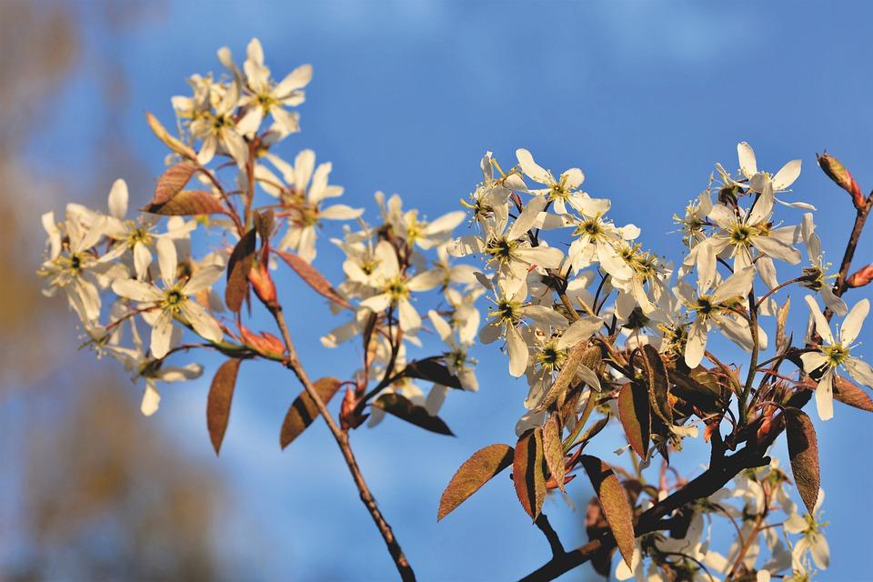 Muchovník květ