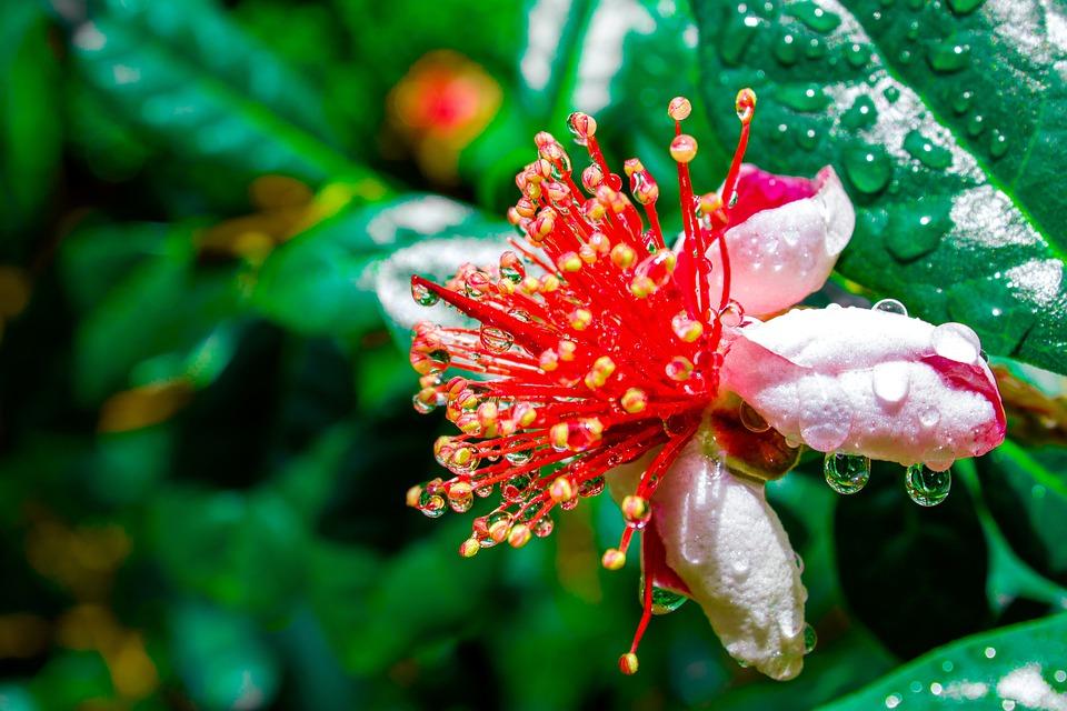 Fejchoa květ