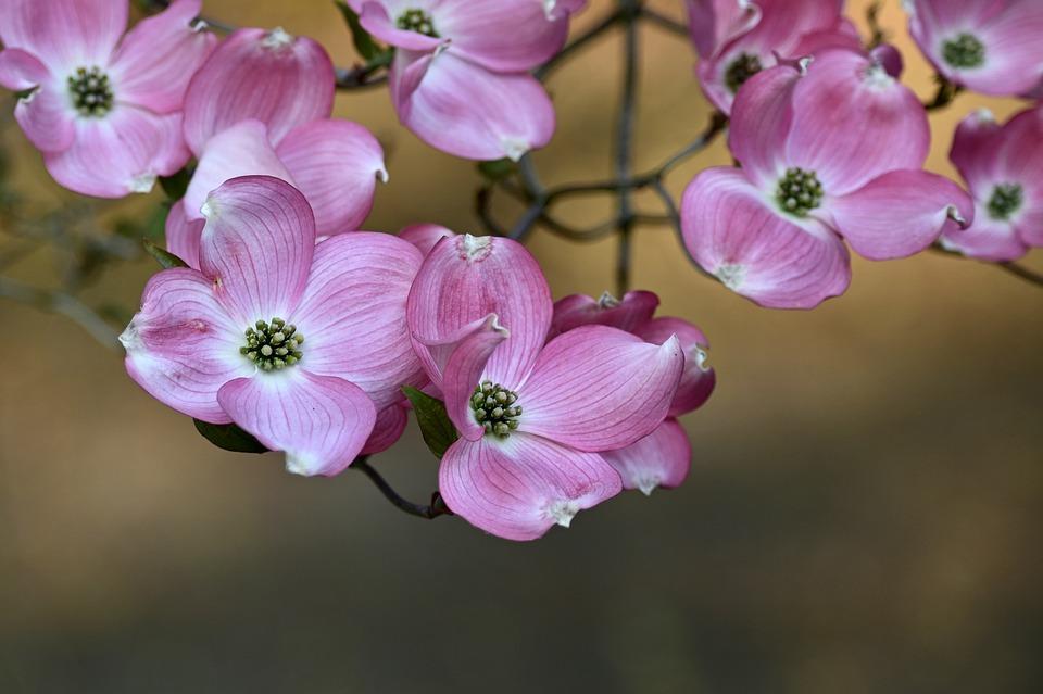 Svídy v květu