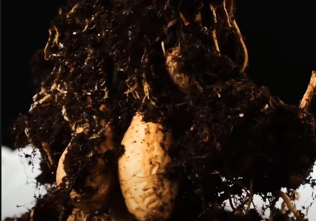 Vyrostlá rostlina podzemnice