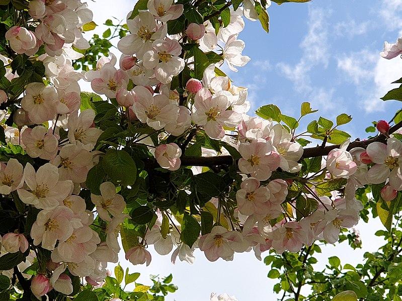 Malus domestica v květu