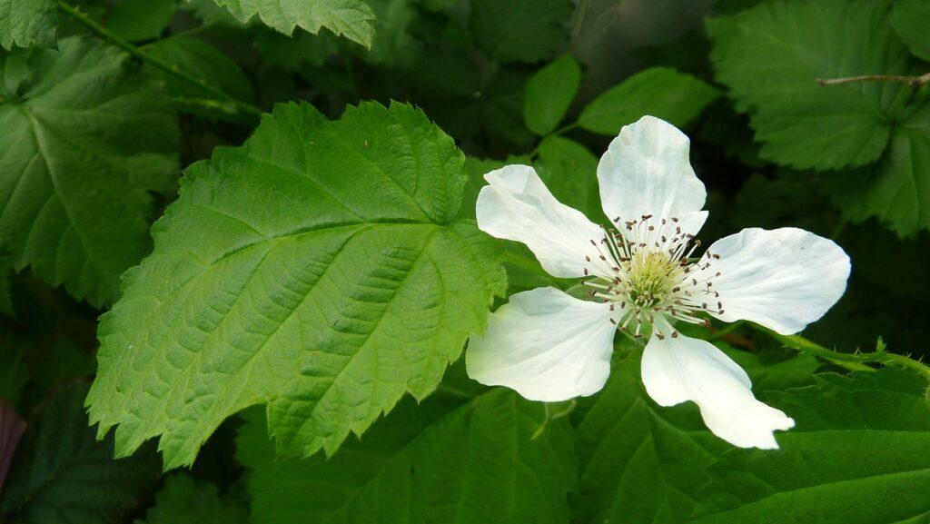 Loganberry květ