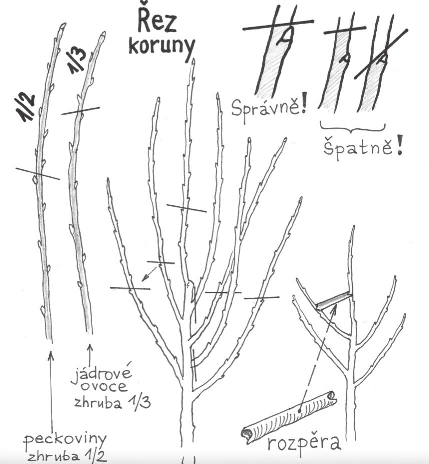 Řez koruny stromu
