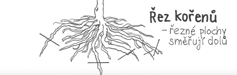 Řez poškozených kořenů