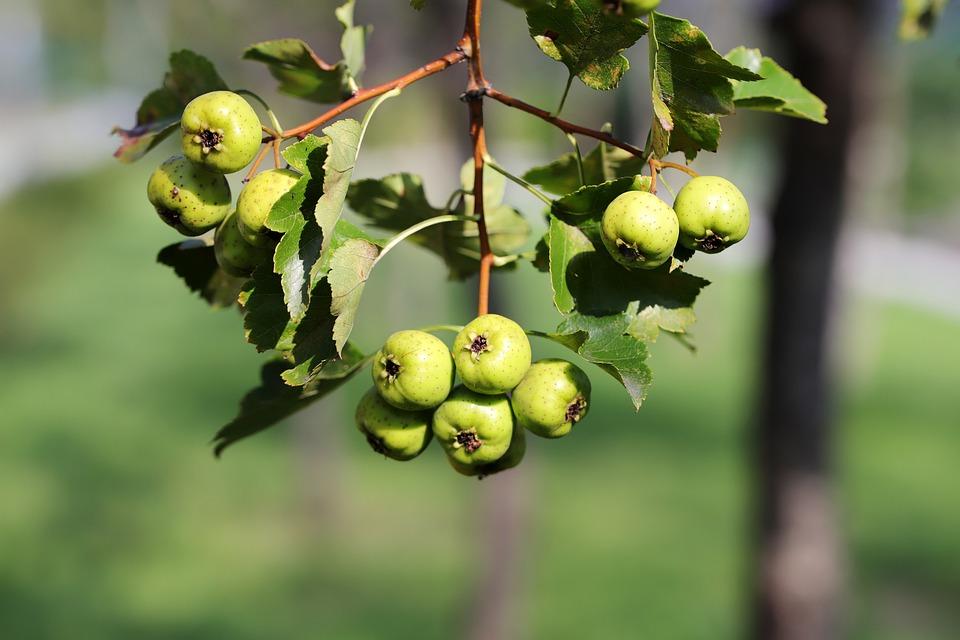 Trpasličí jablko